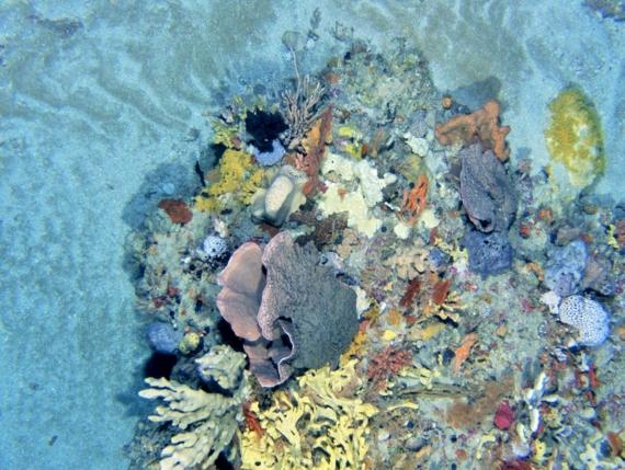 Photo sous marine d eponges et d organismes temperes froids dans le Beagle Marine Park